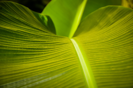gigantea: A close up of a banana leaf