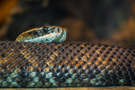 A cold blooded snake slithering around