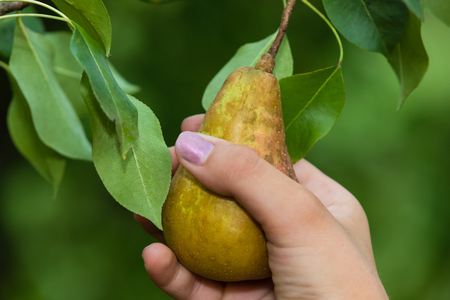 Someone picking a pear from a tree