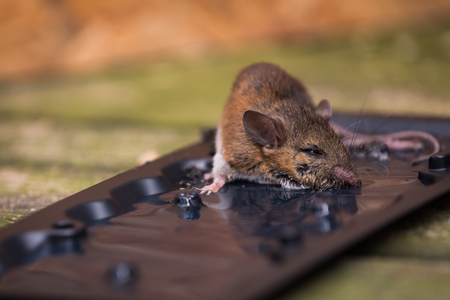 A mouse in a trap Stock Photo