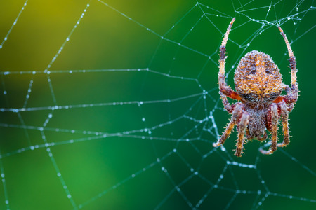A spider in her web with dew on it
