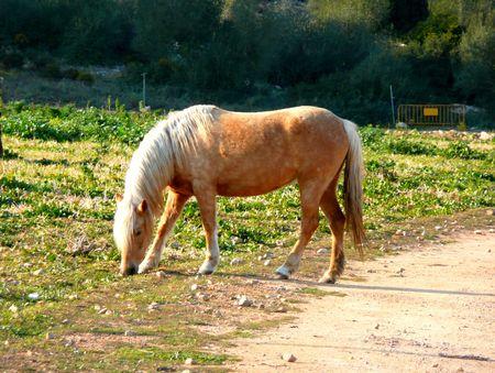 possibly: Honey coloured horse, possibly palomino Stock Photo
