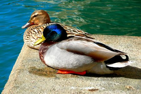 Pair of ducks sitting together photo