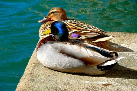 Ducks photo