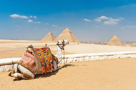 saddle camel: Camel in front of the pyramids, Egypt Cairo