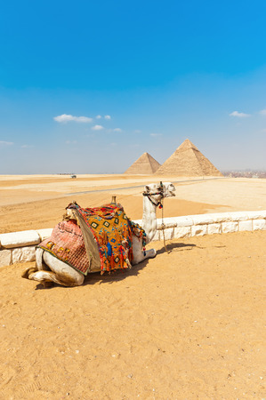 Camel in front of the pyramids, Egypt Cairo photo