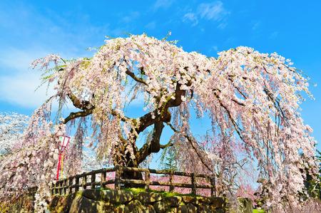 Cherry Blossom at Tokyo,Japan