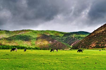 Yaks roaming free at Pudacuo National Park at Shangri-la, Yunnan China
