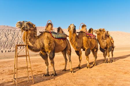 Camels standing at the Flaming Mountains,Xinjiang, China