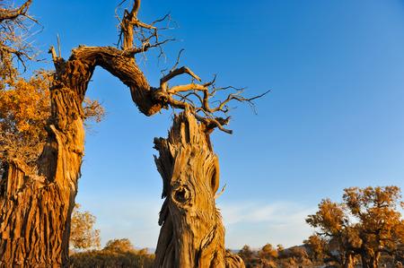 Populus and dying populus in desert, Mori Kazakh Autonomous County, Xinjiang, China Imagens
