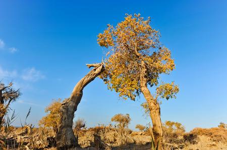 mori: Populus and dying populus in desert, Mori Kazakh Autonomous County, Xinjiang, China Stock Photo