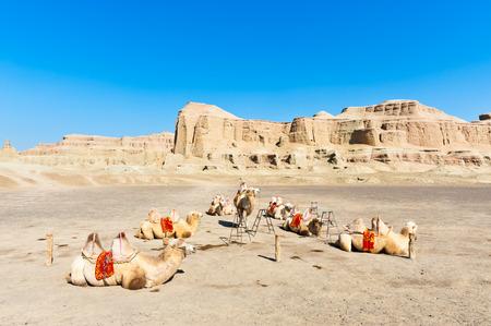 xinjiang: Chameaux au repos à Yardang landforms-- Urho château Ghost à Karamay City, Xinjiang, Chine Banque d'images