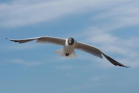ridibundus: Black-headed Gull, Chroicocephalus ridibundus