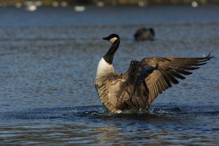 branta: Canada Goose, Branta canadensis