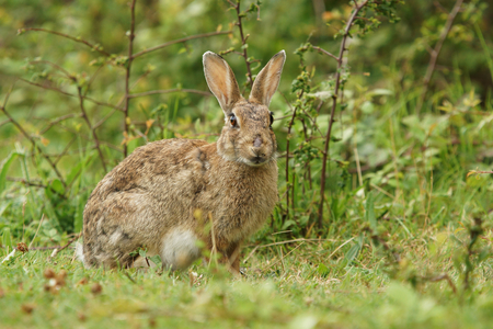 leporidae: European rabbit, Common rabbit, Bunny, Oryctolagus cuniculus