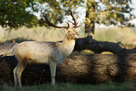 fallow deer: Fallow Deer, Dama dama