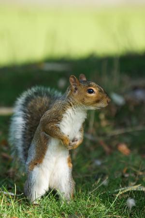 sciurus: Gray Squirrel, Sciurus carolinensis