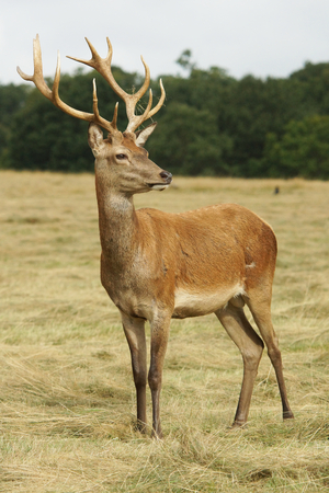 elaphus: Red Deer, Deer, Cervus elaphus Stock Photo
