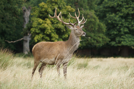 Red Deer, Deer, Cervus elaphus Banque d'images