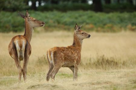 cervus elaphus: Red Deer, Deer, Cervus elaphus Stock Photo