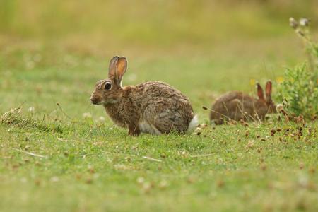 european rabbit: European rabbit, Common rabbit, Bunny, Oryctolagus cuniculus
