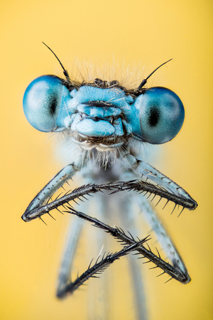 Macro Focus Stacking - Azure Damselfly, Coenagrion puella