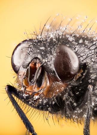 Bluebottle fly, Bottlebee, Calliphora vomitoria