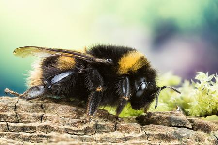 Buff-tailed Bumblebee, Bumblebee, Dumbledor, Dumbledore 免版税图像