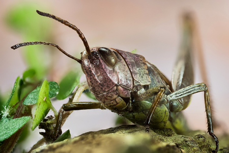 Common Field Grasshopper, Field Grasshopper, Grasshopper, Chorthippus brunneus Banque d'images