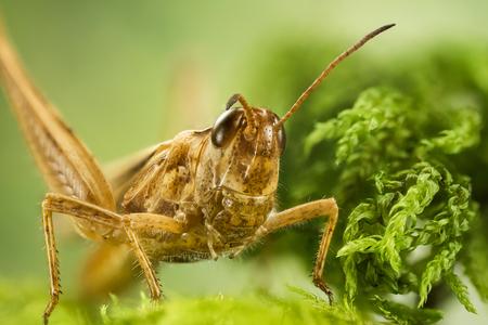 Common Field Grasshopper, Field Grasshopper, Grasshopper, Chorthippus brunneus Stock fotó