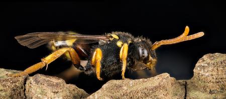 Cuckoo Bee, Nomada, Bee Stock Photo