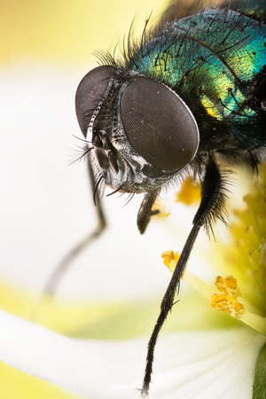 Common Green Bottle Fly closeup photo