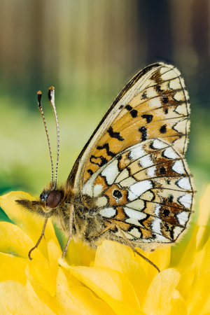 Pearl-bordered Fritillary Butterfly closeup photo