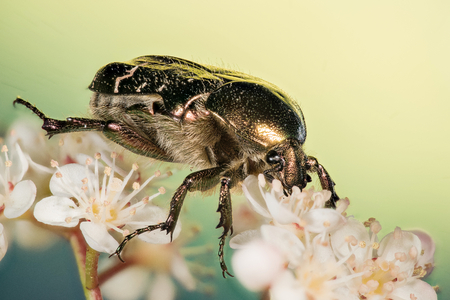 Focus Stacking - Beetle - Rose Chafer, Cetonia aurata Stock Photo