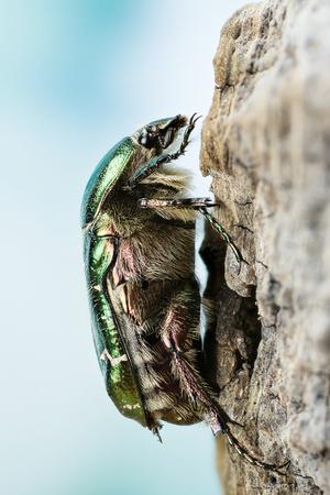 Focus Stacking - Beetle - Rose Chafer, Cetonia aurata Stock Photo