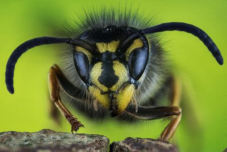 Focus Stacking - Common Wasp, Wasp, vespula vulgaris