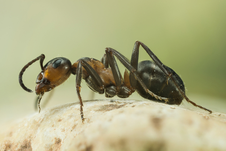 Focus Stacking - Wood ant, Ant, Ants, Formica stern Stock Photo