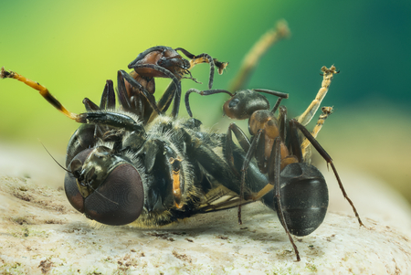 Focus Stacking - Wood ant, Ant, Ants, Formica stern Stock fotó