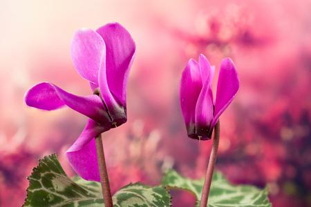 Garden Flowers - Cyclamen