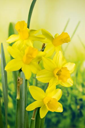 Daffodil, Jonquil, Daffodils, Narcissus