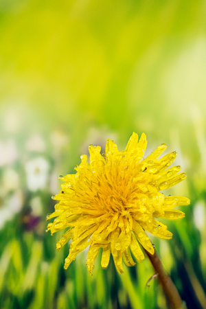 Field Sow Thistle - Field Flowers Stock Photo