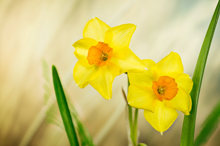 Spring flowers daffodil jonquil daffodils narcissus stock photo spring flowers daffodil jonquil daffodils narcissus stock photo 95801507 mightylinksfo