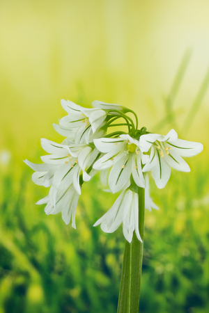 Three Cornered Leek, Snowbell, Allium triquetrum Stock Photo