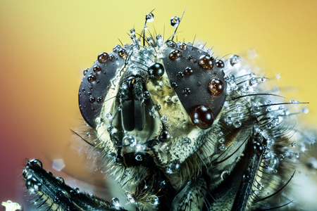 Common Flesh-fly, Flesh Fly, Fly, Mouches