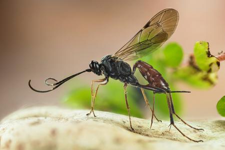 Ichneumon Wasp, Cryptus albitarsis, Wasp