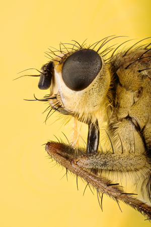 Focus Stacking - Yellow Dung Fly, Scathophaga stercoraria