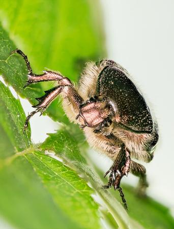 Focus Stacking - Beetle - Rose Chafer, Cetonia aurata Stock fotó