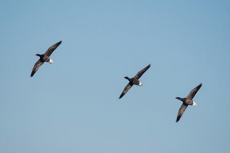Birds - Brent Goose, Gooses Stock Photo