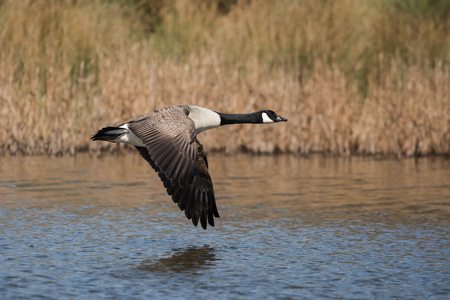 Canada Goose, Gooses