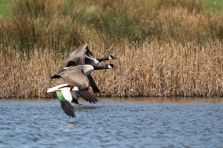 Canada Goose and Common Shelduck